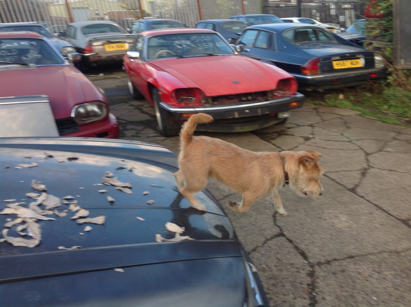 Jaguar XJS dog mascot at Just XJS